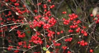 Kvist med raude bær