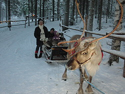 Reindeers,Rovaniemi,Finland,Soumi