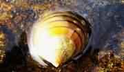 havsmykke
