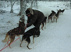 Husky,huskies,Rovaniemi,Finland,dogs,safaris,sled dogs