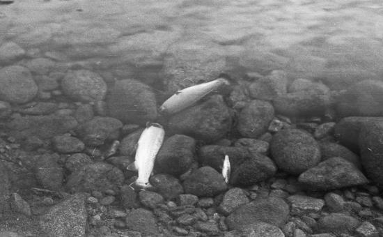 Fiskedød 1977