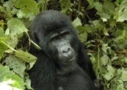 Gorilla,Uganda