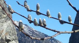 Selja om våren