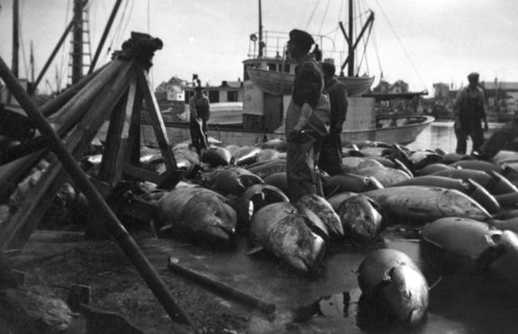 Makrellstørjer på kaia
