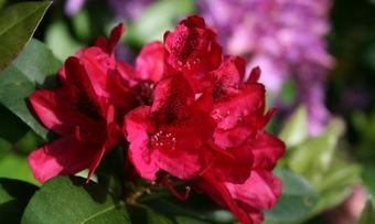 Rododendron i Svinviks arboret_690x461