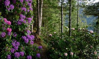 Svinviks arboret rododendronskogen