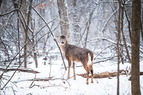 rådyr i skogen