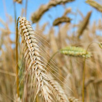 Korn i åker.