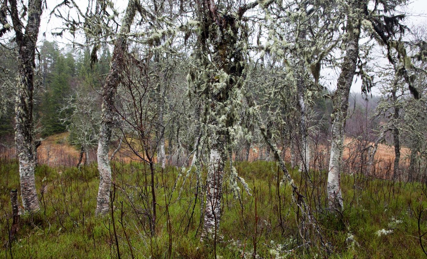 201118g-bjørker.jpg