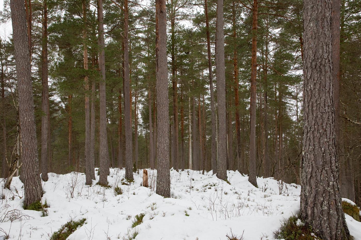 210414f-furutrær.jpg