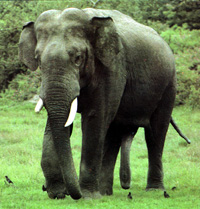 Asian Elephant Subspecies | RM.