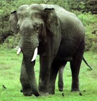Asian Elephant Subspecies | RM.