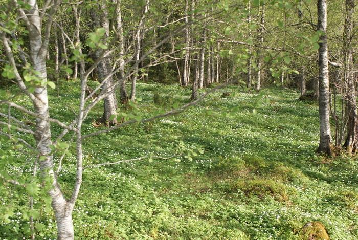 Når kvitsømra ligg som eit teppe over skogbotnen