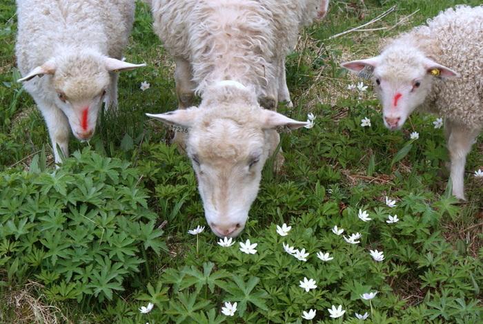 Kvitsømra skal vere giftig, men ikkje for sauen