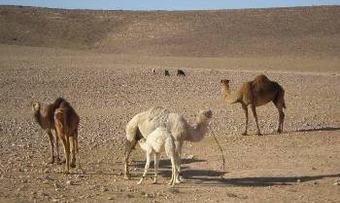 Kamel2