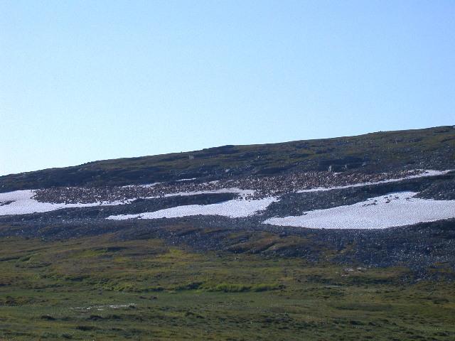 Reinsdyr søker snø i sommervarmen på Sennaland_640x480.jpg