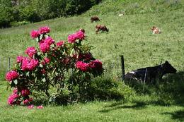 rododendron og kyr_1024x683