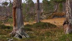 Barktaking i Saltdal NRK 2012