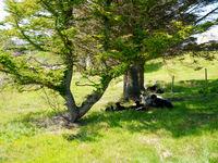Villsau kviler under tre på Grendemyra. Foto: Fedje kommune, mai 2016.