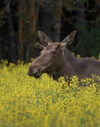 Moose,ellk,finland