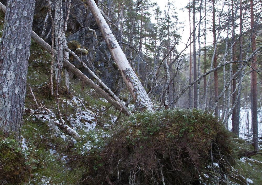 170203a-skog