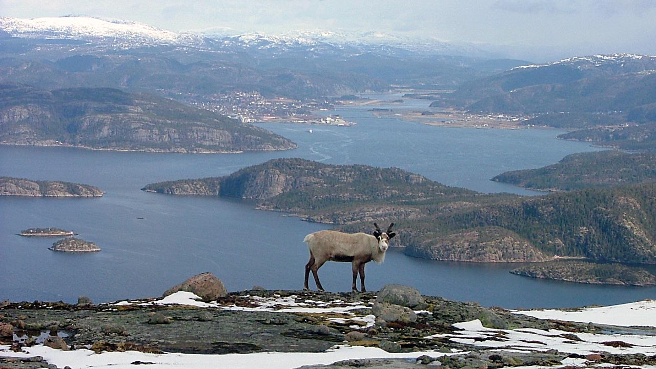 Rein på Hemnafjellet - Nils Roger Duna.