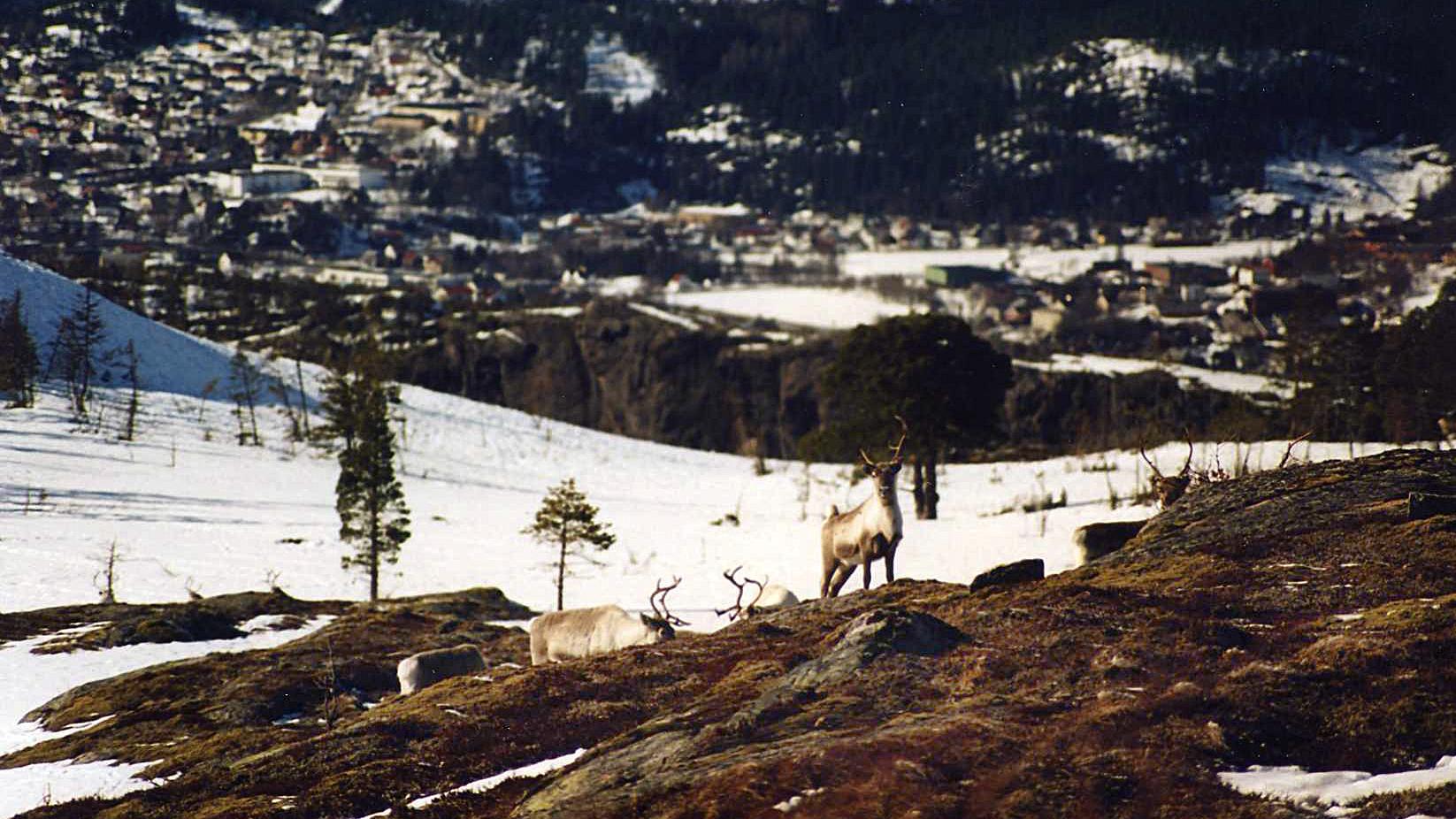 Rein i Spillumsfjellet. Kleppen og Bjørum ses i bakgrunnen - Nils Roger Duna.