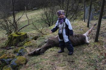 Død hjort