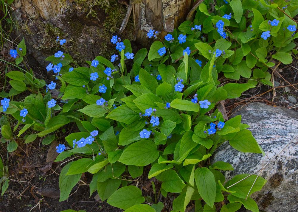 180508a-blomst