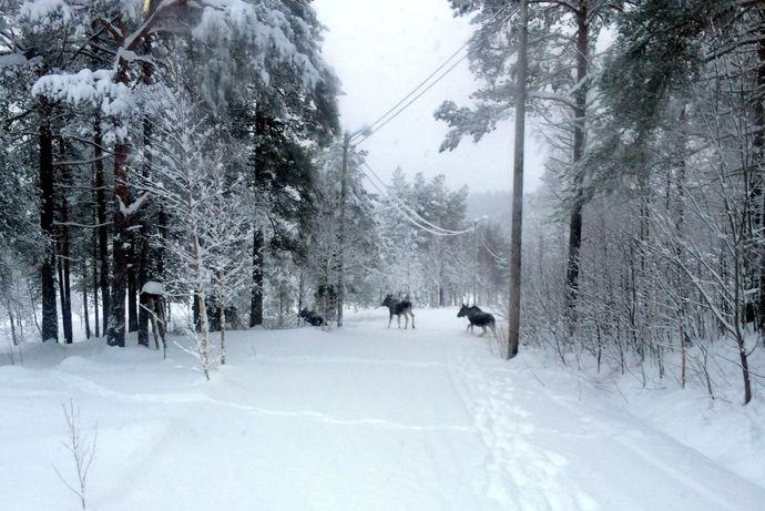 Elg i løypa Asbjørn Skjølsvold februar -19 c