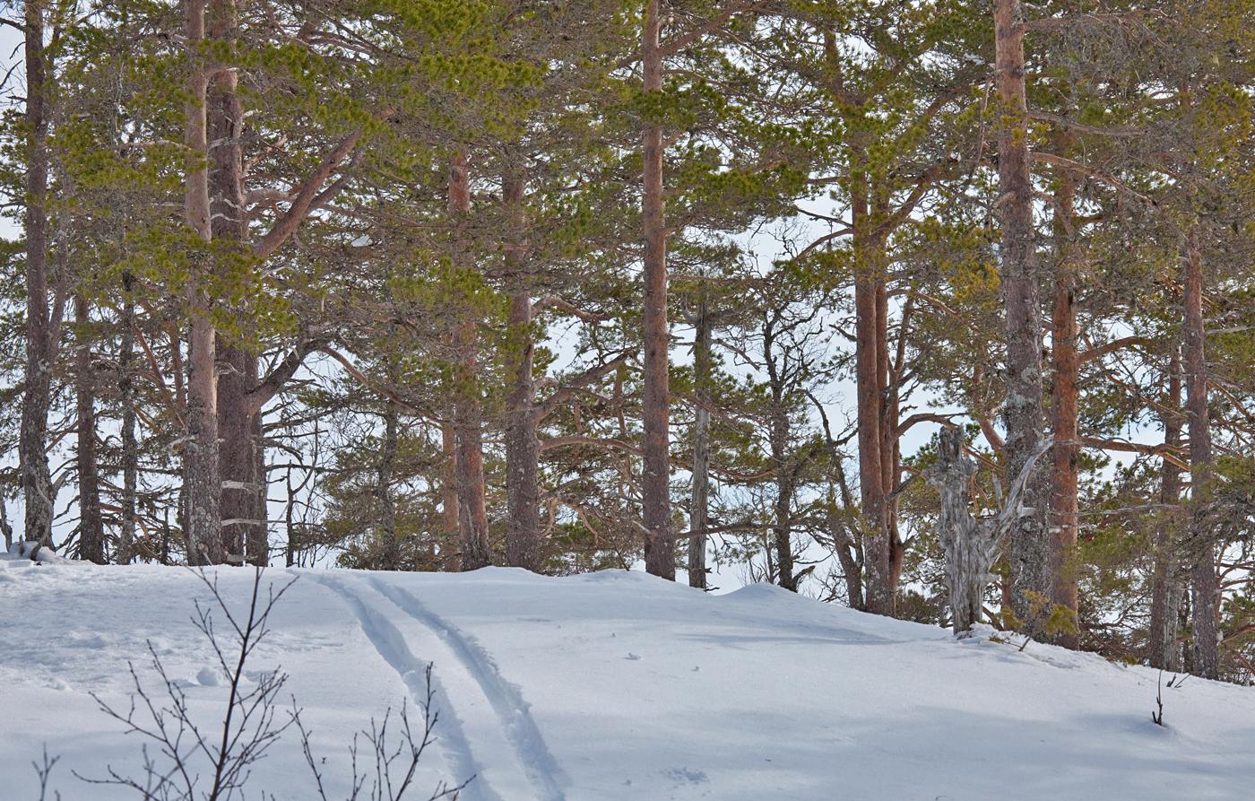 190404i-furutrær.jpg