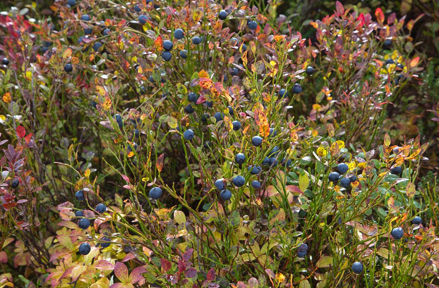 190914e-blåbær.jpg