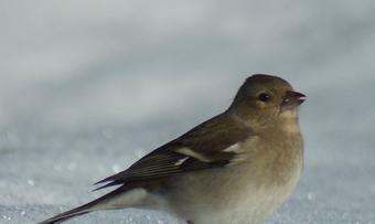 030120 fugler ved hytta (1)