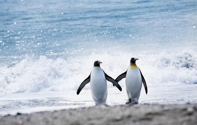 Pingviner i Sør-Georgia.jpg