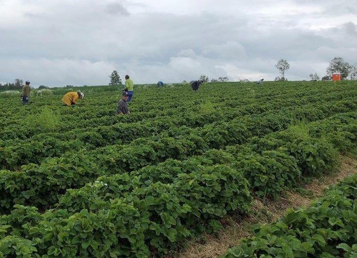 jordbarplukkere-i-akeren-foto-anette-vold