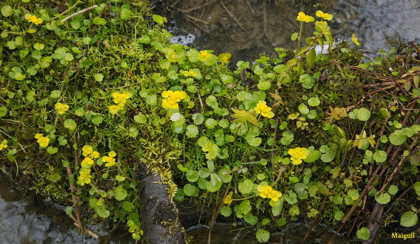 200517b-mai-blomst.jpg