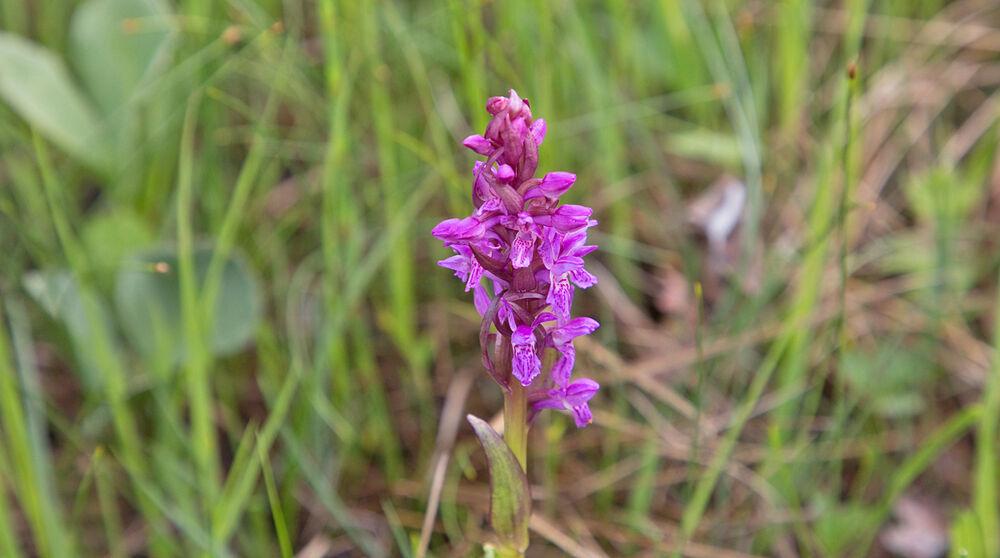 200707a-blomst