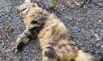 katt teken av gaupe på Kvanne foto Hege Kvendset