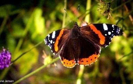 210920 tonejen Admiral sommerfugl.jpg