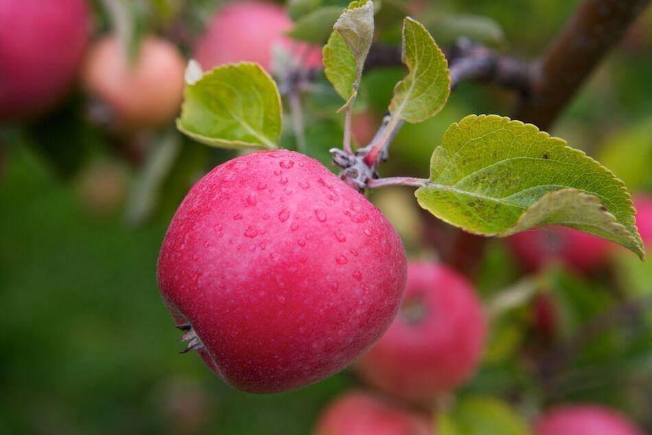 Braastad epler 14