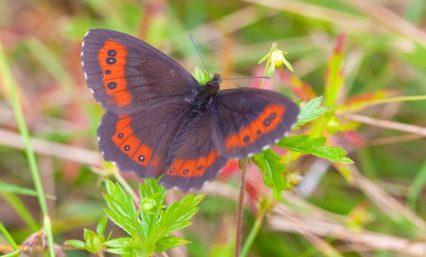 z133-sommerfugl.jpg
